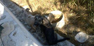 Cani randagi a Stacchini