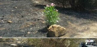 Incendio sotto la Tiburtina, rubato l'oleandro piantato dalla protezione civile