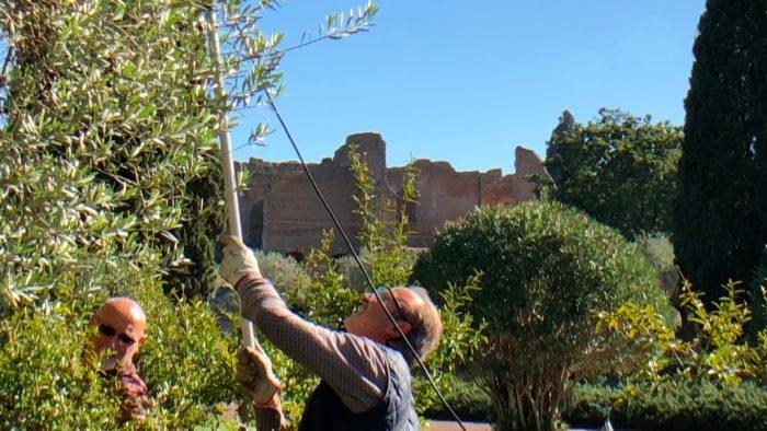 Olio di Villa Adriana, la raccolta di mercoledì 8 novembre