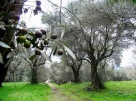 Olivi secolari nella Villa Adriana